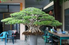 Bonsai Ficus, Bonsai Art, Bonsai Garden, Japanese Gardens, Live Plants, Gardening, Inspiration, Bonsai Trees, Art
