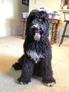 Jazz - Female, Bernedoodle. Very sweet girl. Daughter of AKC Bernese Mountain Dog, Raising Caine (Good OFA Hips) and AKC Standard Poodle, Jontue'. 55 lb. Black with white markings.