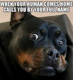 People say Rottweilers are dangerous dogs due to their possible aggression. But owners of this beautiful breed know for sure that Rotties are very funny dogs! Funny Dogs, Funny Memes, Dog Memes, Rottweiler Love, Rottweiler Puppies, Dangerous Dogs, Family Dogs, Cute Animals, Funny Animals