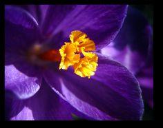 Purple Crocus by inacom.deviantart.com on @deviantART