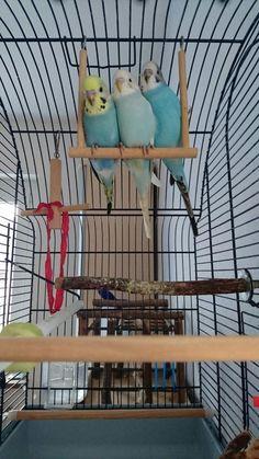 Wir haben noch 3 handzahme Nestjunge zu verkaufen. Die kleinen sind nun 8 Wochen alt und suchen nun...,Nestjunge, handzahme und…