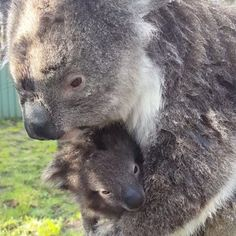 It may have been a cold afternoon but these mumma cuddles had us melting! 😍🐨❤️ 📷 @seljam81 @clelandwildlifepark @visitadelaidehills @southaustralia @australia #cleland #headforthehills #Adelaide #southaustralia #animalsofinstagram #koala #koalifiedforhugs #koalacuddles