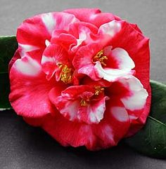 Camellia Japonica 'Emperor of Russia Variegated'