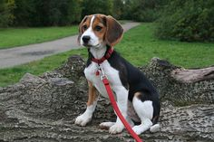 Exercise and the Beagle