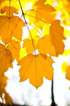 Leaves on a tree during fall. From green to yellow. Imagen Natural, Ann Street Studio, Yellow Leaves, Foto Art, Shades Of Yellow, Happy Colors, Mellow Yellow, Color Yellow, Autumn Leaves
