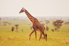 Safari Animals, Cute Animals, Serengeti National Park, Landscape Tattoo, Zebras, Giraffes, African Safari, Endangered Species, Tanzania