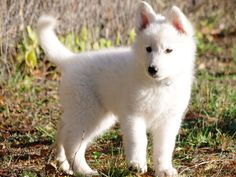 Outgoing, adventurous and curious, Diana is the most active pup from this White Swiss Shepherd litter.
