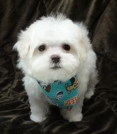 Jethro - Maltese Puppy