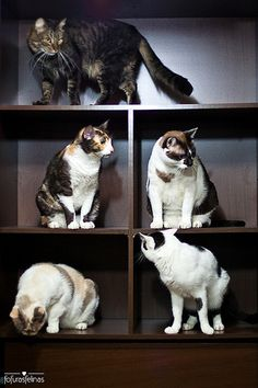 Cats on shelves by fofurasfelinas on Flickr.