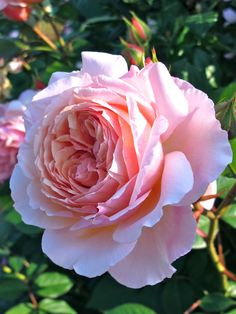 'A Shropshire Lad' rose by Susan Rushton