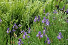 Iris sibirica with Dryopteris filix-mas