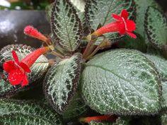 Episcia cupreata, Violeta-vermelha, Asa-da-barata, Epícia, Epíscia #episciacupreata #episcia #flameviolet