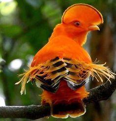 Guianan cock-of-the-rock (Rupicola rupicola)