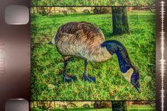 Granville Island Goose