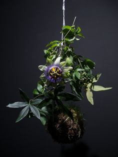 A passionflower vine appears even more exotic in the form of a string garden.