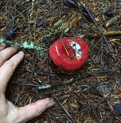 This glistening Russula rosacea looks like a ruby on the forest floor. Wild Mushrooms, Stuffed Mushrooms, Forest Floor, Rosacea, Christmas Bulbs, Holiday Decor, Stuff Mushrooms, Christmas Light Bulbs