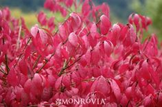 Dwarf Burning Bush (Euonymus alatus 'Compactus') - for next to arch (if in front, per Jon)