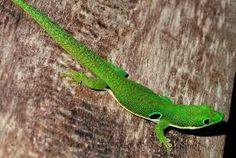 lagarto brasileiro - Pesquisa Google