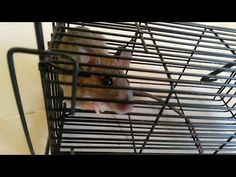 The most effective mouse trap for Get rid of the home rats. Using this effective mouse trap set up, you can easily eliminates rats in your house. Most Effective Mouse Trap, Mouse Traps, Rats, Videos, Rat Traps