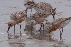 Red knots on Elkhorn Slough Safari, tm