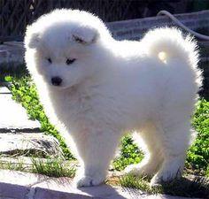 My Favorite dog, loyal and beautiful. Samoyed Husky. :)