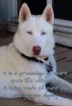Adoptable Iceman - Texas Husky Rescue