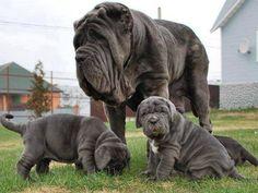 Neapolitan Mastiff Big mom with her beautiful Puppies..
