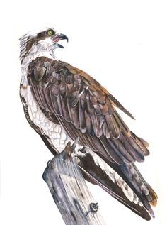 Osprey Watercolor painting Print of watercolor painting A4 size, bird art, wall art, home decor by LouiseDeMasi on Etsy