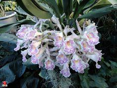 Orchids - Trichopilia suavis -Orchidaceae - Origin Central America to Colombia by fotoproze, via Flickr