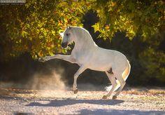 MANUEL VEIGA STUD – Baroque Horse Magazine