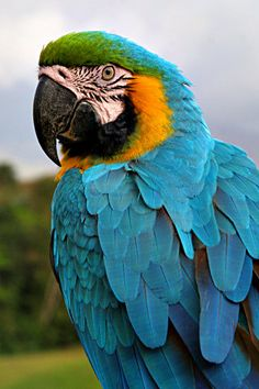 The blue-and-yellow macaw (Ara ararauna), also known as the blue-and-gold macaw. Tropical Birds, Colorful Birds, Pretty Birds, Beautiful Birds, Blue Gold Macaw, Animals And Pets, Cute Animals, Flamingo Pictures, Parrot Painting