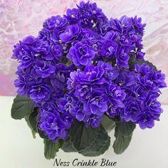 #NessCrinkleBlue #Miniviolet #MiniatureViolet #MicroMiniViolet #MiniViolets_Lux #AVSA #AfricanVioletSocietyOfAmerica #AfricanViolet #IndoorPlant #Houseplant #saintpaulia #senpolia #AfricanVioletLovers #fialka #AfricanViolet #IndoorPlant #Houseplant #saintpaulia #senpolia #flowers #bloom #blooms #fialki #fialka #flowerpower #AfricanVioletLovers  #AfricanVioletBlooming #AfricanVioletMania #AfricanVioletsOfInstagram #flowerstagram