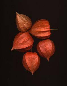 Physalis, Chinese Lanterns