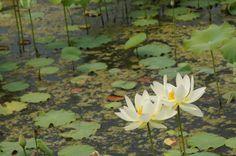 2012년 6월 23일 오전 세미원의 연꽃.