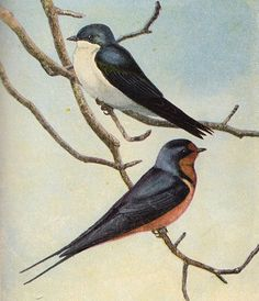 2 Lovely Barn Swallows - Graphic Image - The Graphics Fairy