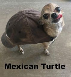 Also known as the Mexican Snapping Turtle, it is sometimes confused for a…