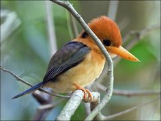 The Yellow-billed Kingfisher (Soma torotoro flavirostris) which in Australia, can only be found in the northern part of Cape York in far north Queensland