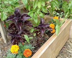 herbs-costsavings-basil