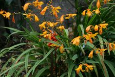 About this cultivar: Crocosmia x crocosmiiflora 'Lady Hamilton' is a tasteful and refined Crocosmia. The yellows flower turn apricot over time and the interior Battle Of The Nile, Summer Flowering Bulbs, Stipa, Crocosmia, Agapanthus, Herbaceous Perennials, Garden Pests, Types Of Plants, Yellow Flowers