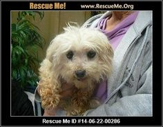 : 14-06-22-00286Lailah (female)  Maltese  Age: Adult  Health:Spayed, Vaccinations Current  All about me! Name: Lailah Breed: Maltese Age: est 7 years Height: 8 est inches Weight: about 8 lbs Good with dogs? yes Good with men? loves 'em Good with women? loves 'em House trained? Working with pee pads Crate trained? Yes. Leash trained? The leash can be scary to Lailah, but we are working with her to make it more fun. Must have fenced in yard? No. Foster home is: Dreamweaver Farms ...
