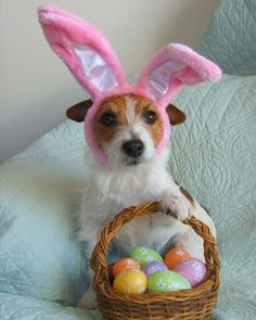"""Sharkey, a Jack Russell terrier from Santa Fe, New Mexico. """"Easter is coming, and there's help for the bunny, 'cause Sharkey's got ears that look really funny. She'll deliver the eggs as careful as can be to all of the children and to you and to me."""" Submitted by susanrstoltz."""