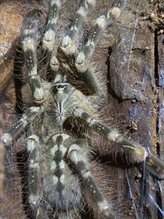 Poecilotheria subfusca | Tarantula\'s Are Great Pets.... | Pinterest ...