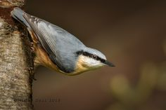 Nuthatch by Nigel Dell