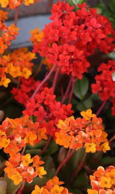 Kalanchoe- red and yellow mix