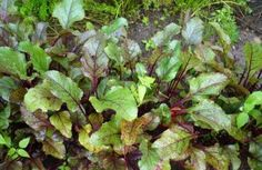 Краснеют листья у свеклы – почему так происходит и что делать