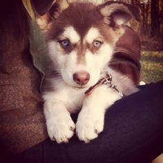 i want a husky!