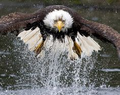 Water ski...excellence! All weather friend...soars here almost daily...in high majestic spirals or low flying over the lawn or in water skiing moments on lake...Bald Eagle, USA National Bird!
