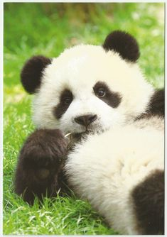 Pandas are my favorite animals in the whole wide world. their just so cute. Cute Baby Animals, Animals And Pets, Funny Animals, Wild Animals, Panda Love, Cute Panda, Beautiful Creatures, Animals Beautiful, Photo Panda