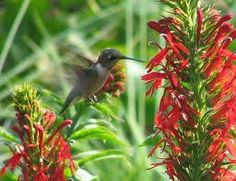 hummingbird on cardinal flower