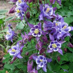 Aquilegia 'Winky Blue and White', Columbine: Gorgeous Bicolor Flowers